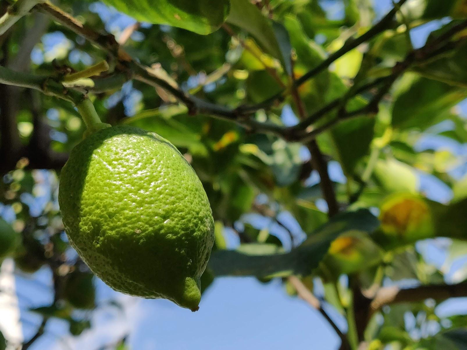 Granita al limone e foglie di alloro